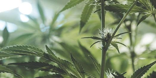 Weibliche Hanfpflanze